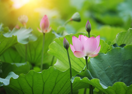 Blooming lotus bloem