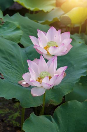 lotus flowers: blooming lotus flowers