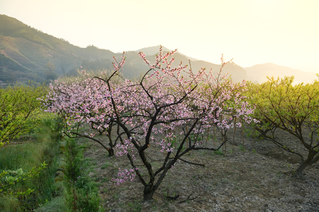 blomming: pink blossoms Stock Photo
