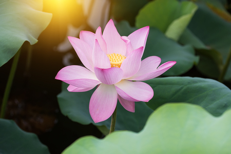 sacred lotus: blooming lotus flower