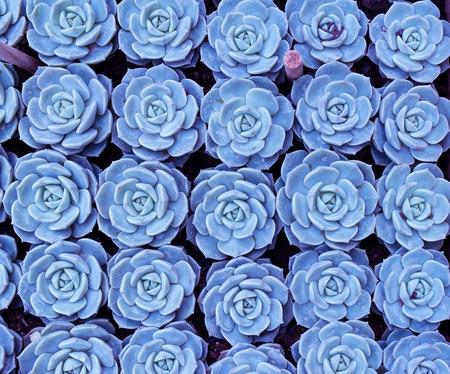 ornamental horticulture: Miniature succulent plants Stock Photo