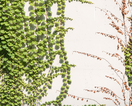 climbing frames: ivy leaves isolated on a white background