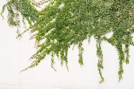 아이비 잎 흰색 배경에 고립