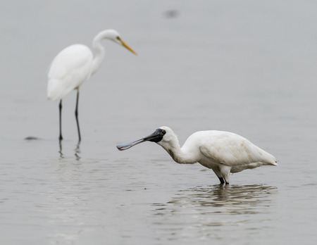 water bird: Black-faced Spoonbill in shenzhen China, This species is known as a winter migrant in China. IUCN is now listed this species as an Endangered (EN) bird (Current IUCN Red List category).