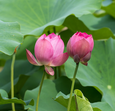 calyxes: blooming lotus flower