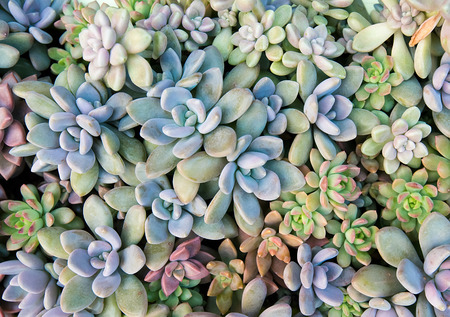 Miniature succulent plants 写真素材