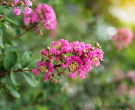 toowoomba: crepe myrtle flowers