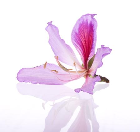 ebony tree: Hong Kong Orchid