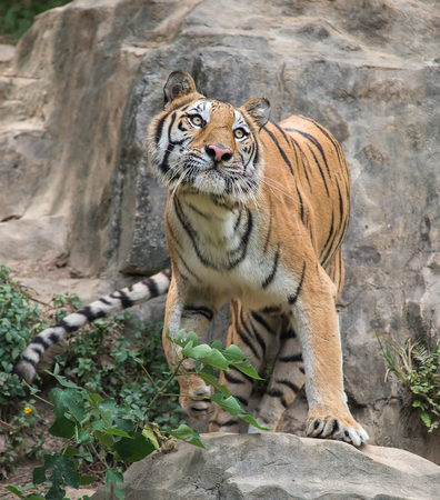 muster: tiger in a zoo