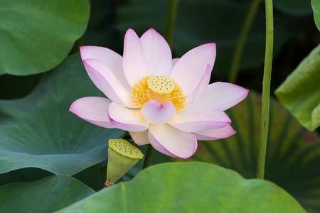 lotiform: blooming lotus flower