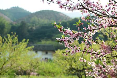 青空: pink blossoms 写真素材