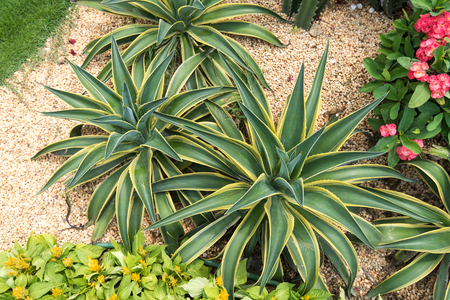 sharp: Sharp pointed agave plant leaves