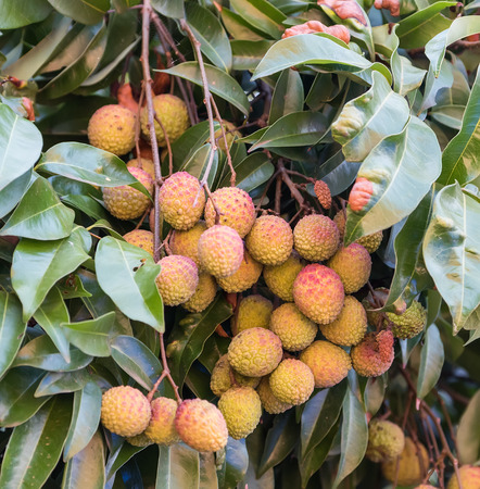 litchee: lychee fruit on the tree
