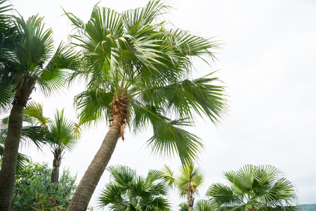 tropical plants: palm tree isolated on white background