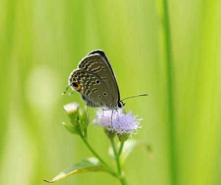 polyommatus icarus: Common Blue (Polyommatus icarus) butterfly in natural habitat