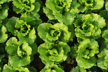 clime: lettuce plant in field