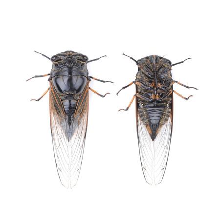 Exemplar: Cicada isolated on white background