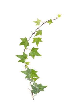 ivy leaves isolated on a white background