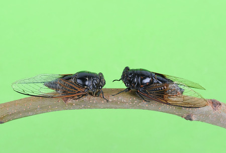 exemplar: Cicada isolated on Green background