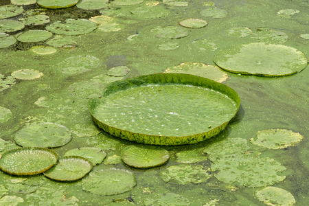 amazonia: Huge floating lotus,Giant Amazon water lily,Victoria amazonia