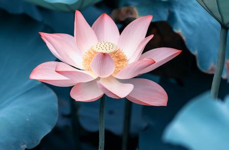 満開の蓮の花