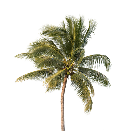 old tree: palm tree isolated on white background
