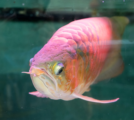 arowana: Asian arowana the dragon fish Stock Photo