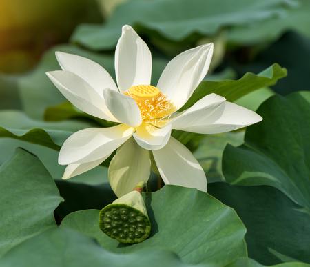 white isolated: lotus on isolated white background.