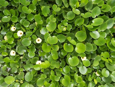 spadix: Water Hyacinth cover a pond