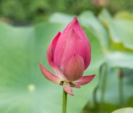 effloresce: blooming lotus flower