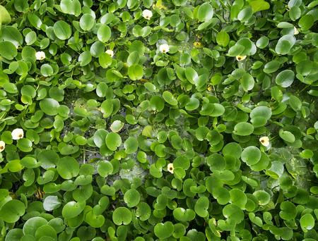 spadix: Water Hyacinth  pond