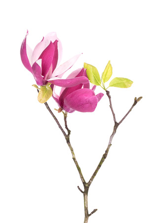 tree detail: Pink magnolia flowers isolated on white background