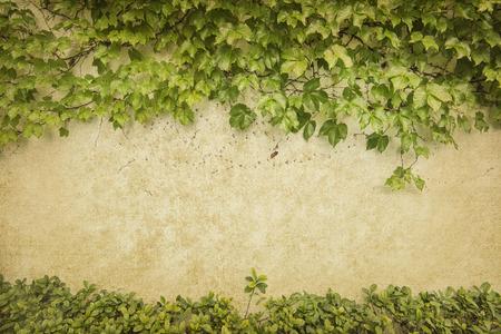 grünem Efeu auf alten Grunge antiken Papier Textur