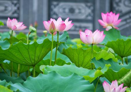 池に咲く蓮の花 写真素材