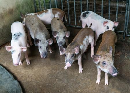 landrace: pigs on the farm