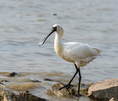 white perch: Black-faced Spoonbill in waterland. Stock Photo