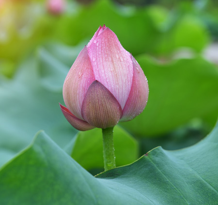 blooming lotus flower