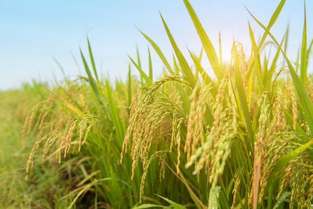 rice harvest: Paddy rice harvest