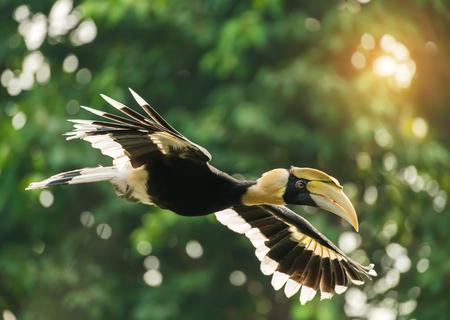 africa jungle: Great hornbill in rainforest Stock Photo