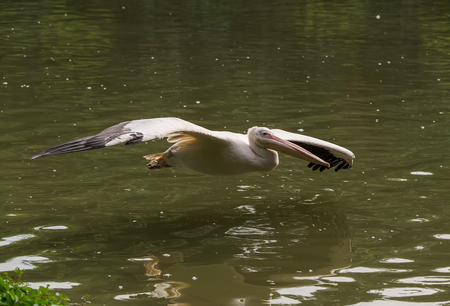synchronously: White Pelican in flight Stock Photo