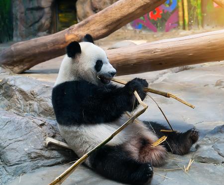 animales de la selva: oso panda gigante que come el bambú