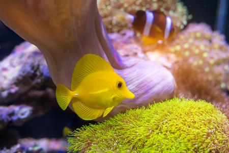 zebrasoma: zebrasoma salt water aquarium fish Stock Photo