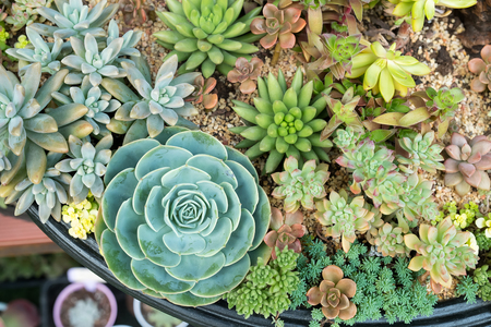 actus succulents in a planter
