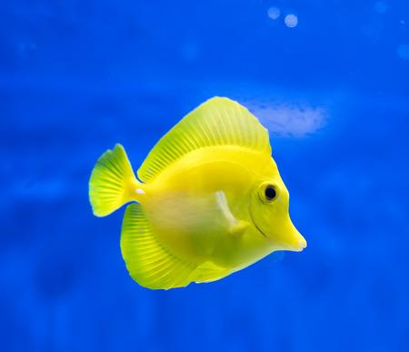 zebrasoma salt water aquarium fish Stock Photo
