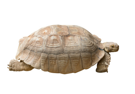 herman: Tortoise Isolated on White Background