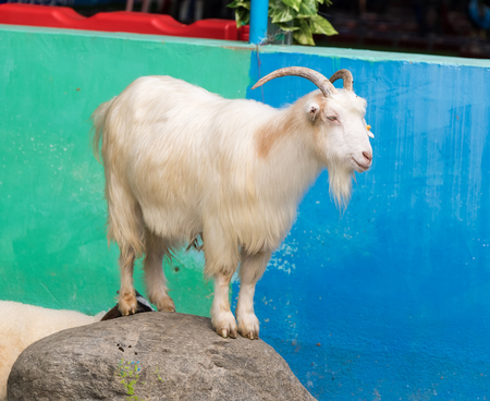 head stones: portrait of one white goat standing on rock