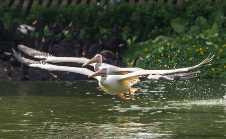 synchronously: White Pelican in water-land