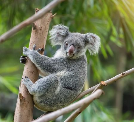 Koala op boom zonlicht op een tak Stockfoto