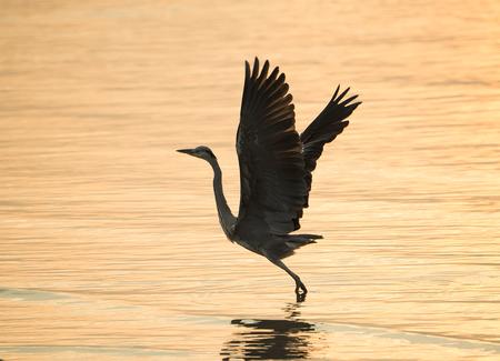 Portrait of natural grey heron in flight