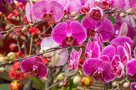 orchid flowers phalaenopsis